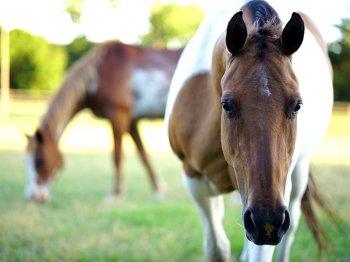Heeft jouw paard PPID (cushing)? Pas zijn rantsoen aan!